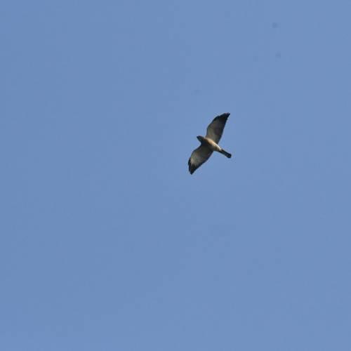 Peneliti Temukan Dua Burung Raptor Migrasi ke Gunung Sanggabuana